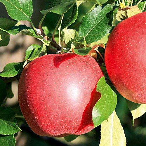 TOM-GARTEN, Obstpflanzen, Apfel 'Galiwa', 1Pflanze, ca. 1,20 m / 22 cm Topf, schorftolerante Sorte