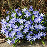 Woodland bulbs® 25 x Chionodoxa Blue 'Luciliae' Spring Flowering Garden Bulbs (Free UK P&P)