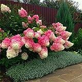 50 semi di vaniglia Fragola ortensia fiore come pianta bonsai o un albero in vaso o nel terreno Hydrangea macrophylla Per la casa e giardino