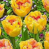 Cossll498 100pcs variété tulipe graines belle fleur floral maison jardin plante décoration (3pcs bulbes de tulipes coeur jaune et rouge)