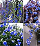 Best Climbing Roses - Nooelec Seeds India Blue Climbing Rose Flower 20 Review