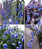 Best Climbing Roses - Blue Climbing Rose Flower 20 Seeds Pack Review