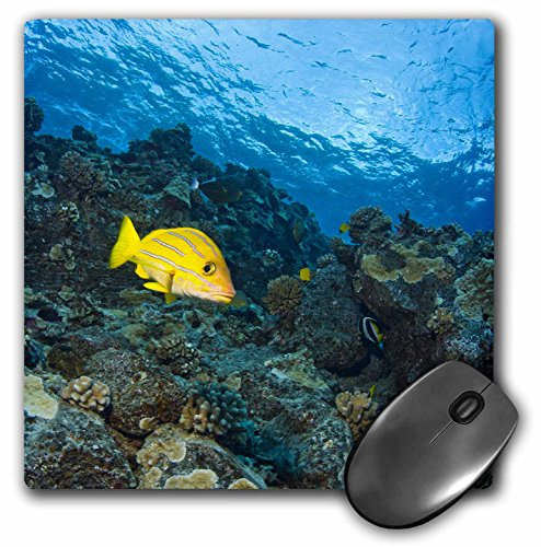 Danita Delimont - Fish - Bluestripped Snapper fish, Maui, Hawaii - US12 SWS0173 - Stuart Westmorland - MousePad (mp_89955_1) (Dog Snapper)