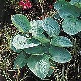 Kölle Blaublatt-Funkie ' Big Daddy' - Hosta sieboldiana 'Big Daddy' - imposante, graublaue Blätter - im 11 cm Topf - frisch aus der Gärtnerei - Pflanzen Gartenstaude