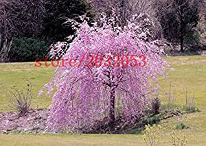 20 sakura samen brunnen kirschbaum weinen samen japanische bonsai baumsamen f r diy hausgarten. Black Bedroom Furniture Sets. Home Design Ideas