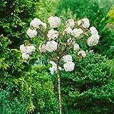 Schneeball Eskimo zum Stämmchen gezogen weiß blühend, 1 Pflanze