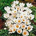 Wildkrokus White Triumphator von Gärtner Pötschke bei Du und dein Garten