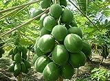 Liveseeds - Papaya 'Rote Dame' (Carica Papaya) 20 Samen
