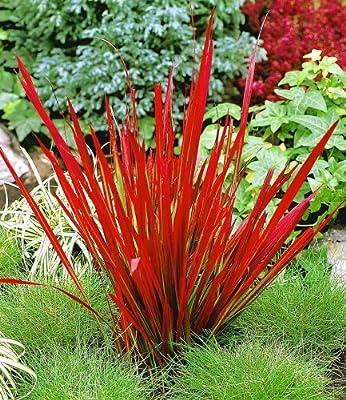 BALDUR-Garten Ziergras 'Red Baron' Japanisches Blutgras Flammengras, 3 Pflanzen Imperata cylindrica von Baldur-Garten - Du und dein Garten