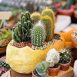 Semillas Cactus mezcla flor de piedra - asiento de suegra