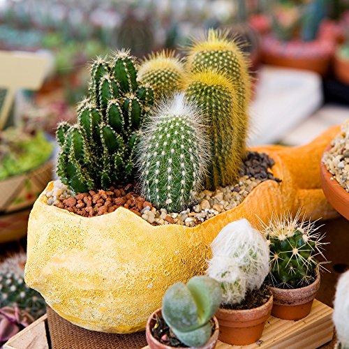 Cactus Mélange graines