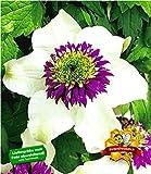 BALDUR-Garten Waldrebe Clematis 'Florida Sieboldii' winterhart, 1 Pflanze Klematis mehrjährige blühende Kletterpflanzen