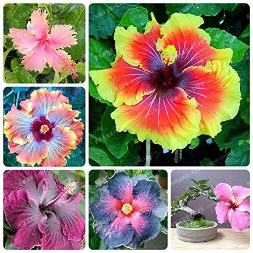 Shoopy Star 20: Rare Multi Color Fleur Phlox Graine pot Bonsai Accueil Ornements de jardin 200 Pcs