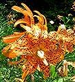 Lilium lancifolium - Gefüllte Tigerlilie Flore Pleno von Mosselman auf Du und dein Garten
