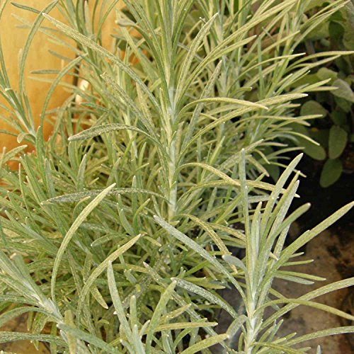 lichtnelke - Currykraut ( Helichrysum italicum ) Tb9