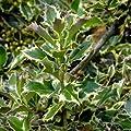 Stechpalme Ilex aquifolium 'Argentea Marginata' 40/60 cm von VDG-KL-Baumschule - Du und dein Garten