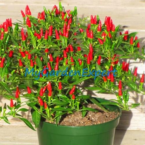 balcon Rillettes graines de pavot Rouge Blanc Belles plantes Bonsai Usine jardin Graines de fleurs 200 particules / lot