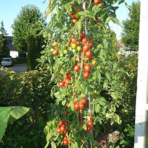 10-samen-tomate-unbekannt-4m-4-meter-hoch-massenertrag