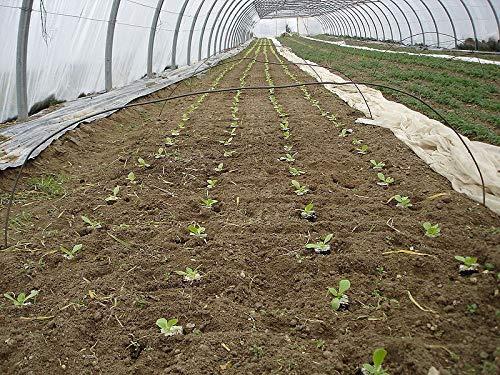 PLAT FIRM KEIM SEEDS: 1000 Samen Perilla Nankin Green Shiso Omega-3-Ignition Pflanze Gras