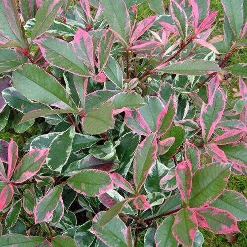 Photinia x fraseri 'Pink Marble' fotinia variegata pianta da siepe alta 60-80 cm