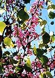 TROPICA - albero di Giuda - albero dell'amore Cercis siliquastrum - 60 semi