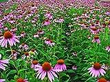Asklepios-seeds - 1000 Samen Echinacea purpurea, Purpur-Sonnenhut, Roter Scheinsonnenhut