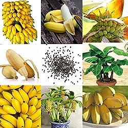 Yukio Samenhaus - Tropisch Bonsai Bananensamen Zwerg Bananenbaum Zimmerpflanzen Obstsamen Essbar Saatgut Keimfähig winterhart