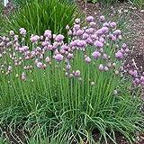 1000 Samen mittelröhriger Schnittlauch – Allium schoenoprasum, ganzjähriger Anbau