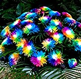 Gartensamen SummerRio- 100 Stück Regenbogen Chrysantheme Selten Blumenwiesen mehrjährig winterhart Stauden Gänseblümchen Mischung Bonsai Blumensamen Blumenmeer für Balkon/Garten