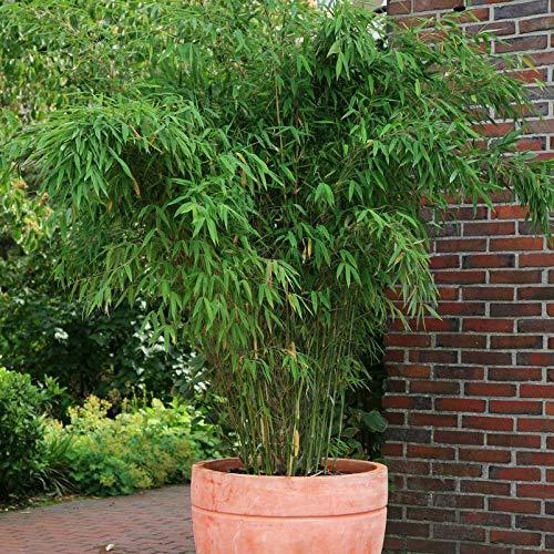 Pflanzen Kölle Bambus-Fargesia Jumbo, Höhe 80-100 cm, im 10 Liter Topf