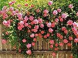 Best Climbing Roses - Pink Climbing Rose All Season Flower Seeds Review