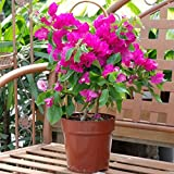#8: Harit Special - Beautiful Pink Bougainvillea ( 1 Healthy Small Live Plant + Pot + Manure )