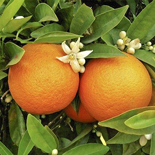 Citrus Orange Tree 1.2M tall 5