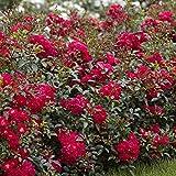 Fairy Rosen rot - 3 pflanzen Test