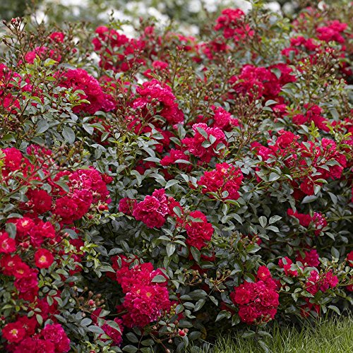 fairy rosen Fairy Rosen rot - 3 pflanzen