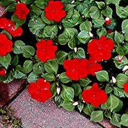 Rot 'Fleißiges Samen - Fleißiges Lieschen