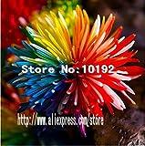100PC Regenbogen Chrysantheme-Blumen-Samen, dekorative Bonsai, seltene Farbe, neu wählen mehr Chrysantheme Samen Pflanze Gartenblume