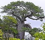 Adansonia digitata afrikanischer Affenbrotbaum Baobab Pflanze 20cm sehr selten