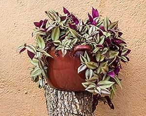 Vamsha Nature Care Live Indoor Love Plant Wandering Jew Plant (Tradescantia pallid)