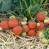 Erdbeerpflanze Sonata