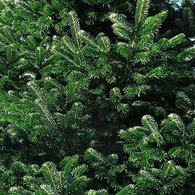 Echter Weihnachtsbaum Tannenbaum Christbaum echte Nordmanntanne Premium 100-130 cm von Hof Thorn auf Du und dein Garten