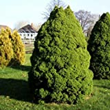 Zuckerhutfichte Picea Größe wählbar [30-40 cm]