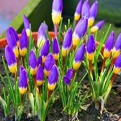 Krokus Sieberi TriColore von Meingartenshop bei Du und dein Garten