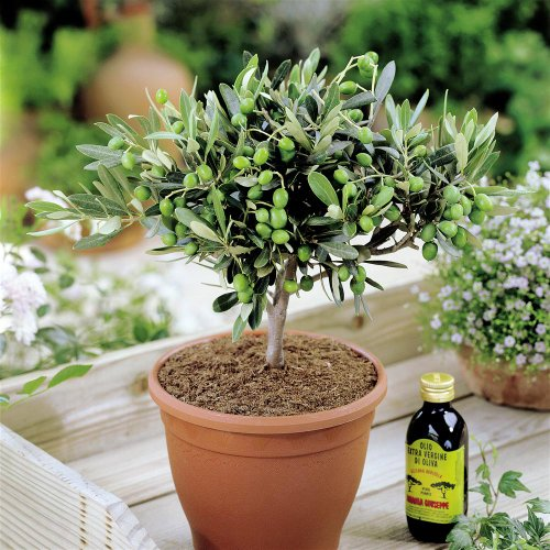 olivia-europeana-olive-tree-small-but-mature-with-thick-stem-ideal-small-gift