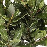 Laurel Comestible - Maceta 17cm. - Altura total aprox. 40cm. - Planta viva - (Envíos sólo a Península)