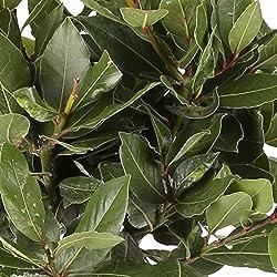 Laurel Comestible - Maceta 14cm. - Altura aprox. 50cm. - Planta viva - (Envíos sólo a Península)
