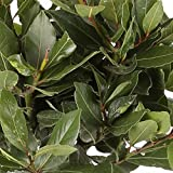 Laurel Comestible - Maceta 14cm. - Altura aprox. 40cm. - Planta viva -...