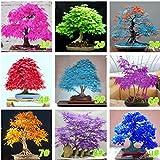 20Pcs Bonsai Ahorn Baum SamenTopfpflanzen Mehrjährige Pflanze Samen