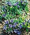 BALDUR-Garten Sommer-Enzian, 2 Pflanzen Gentiana von Baldur-Garten bei Du und dein Garten