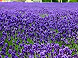 100pcs Lavender Seeds herb seed garden balcony pot Four Seasons flower seeds